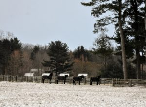And here are my boys once again - four of my five Friesians. They turned their backs to the strong winds of the snow squall, but are very happy in their paddock. See you soon my dear horses.