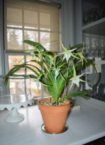 At the rare orchid sale, I purchased two wonderful plants. This is an extremely rare Angraecum Crestwood 'Tomorrow Star'. Watering these plants once a week to once every 10-days is usually sufficient for larger plants. Bright light from an east or west window is best.