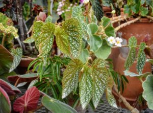 Begonia 'My Special Angel', is another fun specimen with spotted leaves and green foliage.