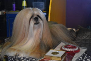 This Lhasa Apso looks ready to show. These dogs are a non-sporting dog breed originating in Tibet. It was bred as an indoor sentinel in the Buddhist monasteries, to alert the monks to any intruders who entered.