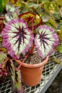 Here is one of my newer specimens with beautiful dark burgundy centers and bold pink edges. It is a Rex begonia, a type of rhizomatous begonia. With hundreds of cultivars bred for foliage, flowers are secondary compared to these bold leaves.