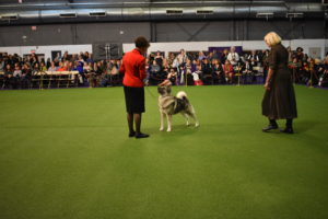 Here's another dog stacked in the ring. Stacking is the art of physically placing the dog's feet in the best position, so it looks its best. This dog is a Norwegian Elkhound.