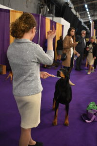 In dog showing, there is also a category for junior handling. Children nine to 18 years old learn basic handling abilities, and how to care for, and present, different breeds in a competition. While Juniors are judged by an official AKC Judge, it's the quality of their presentation that is judged, not the dog.