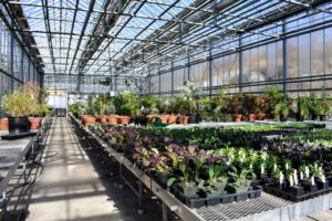In this area - cold season vegetables. Despite being indoors, this greenhouse is kept colder than the others with tropical plants. Here you can see the striking dark maroon foliage of the Japanese mustard.