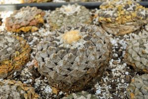 Ariocarpus species are very slow-growing. Plants have thick tuberous tap roots, and are solitary. They vary in color from white or yellow to pink, purple or magenta.