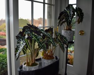 As you know, I love houseplants, so I added some in this room right away - beautiful big-leaf alocasias.