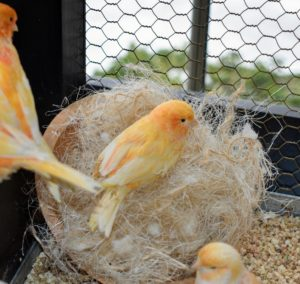 The canaries pull the fibers out one by one to carry to their nests. Breeding usually occurs in the spring. Canaries like to breed when the temperature is around 70-degrees Fahrenheit and there are about 14-hours of light.