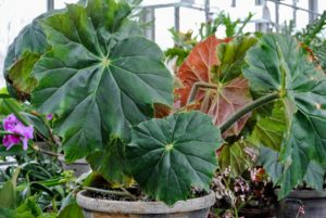 Begonia 'Lotusland' is a large thick stemmed rhizomatous variety. It can grow up to to three-feet tall. It is hard to miss when entering my greenhouse.
