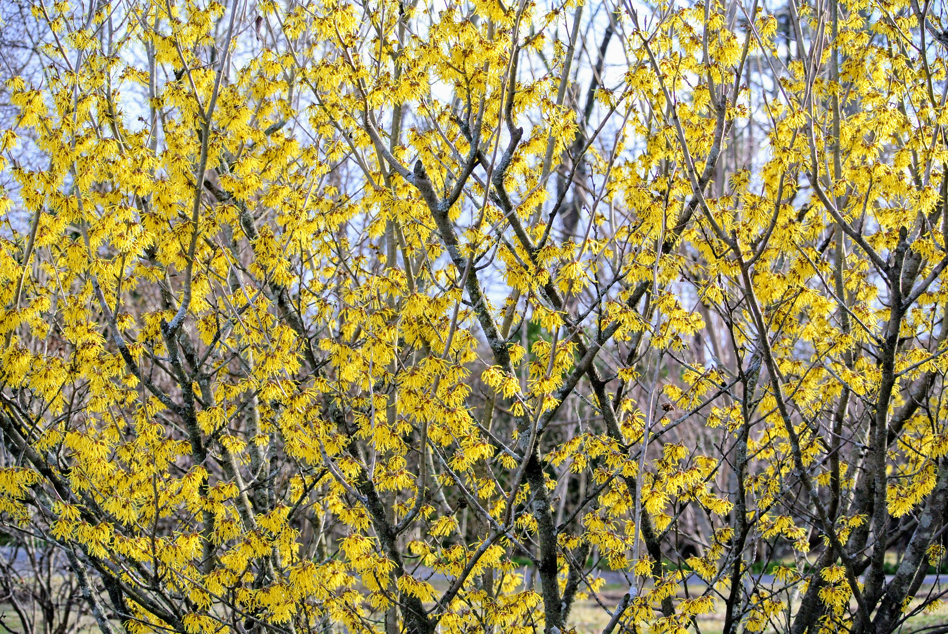The Martha Stewart Blog Blog Archive The Blooming Witch Hazel