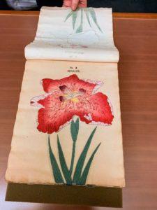 Here is an illustration of Iris kaempferi, Tokyo, circa 1899.