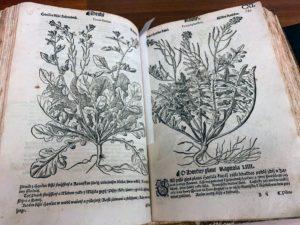 Here is an interesting Eruca sativa print seen in Mattioli Herball, Prague, 1562.