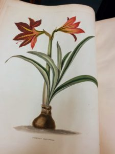 This is an amaryllis in Hexandrian plants, London, 1831-4.