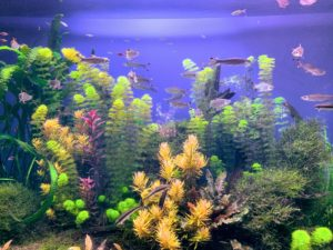 In this aquarium - Southeast Asian fish species, including the Red Scissortail Rasbora and the Pearl Gourami. These fishes can be found in the freshwater areas of Malaysia, Singapore and Thailand.