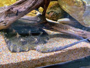 Look closely and you can see the tail and shell of this alligator snapping turtle. It is the largest freshwater turtle in North America, reaching lengths of up to three-feet. Its diet includes fish, reptiles and even small birds.