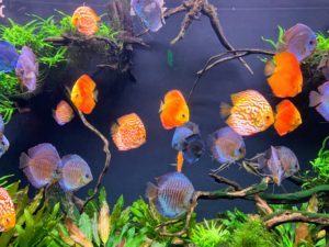 These bright, pretty fish are called Blue discus, native to the Amazon River basin in South America. Due to their distinctive shape and bright colors, discus are popular as freshwater aquarium fish.