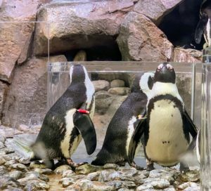 "These are African penguins. The African penguin, also known as the jackass penguin and black-footed penguin, is a species of penguin confined to southern African waters. It is widely known as the ""jackass"" penguin for its loud, donkey-like bray."