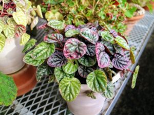 Some begonia leaves will actually feel very crispy when touched, so handle the foliage gently to prevent cracking.