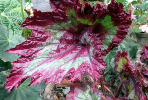 Begonia 'Raspberry Torte' is a showy plant with glossy spiraled leaves and bands of silver and dark raspberry.