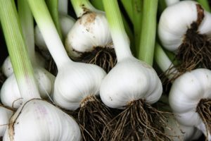 Aside from attending lectures and volunteering at Stone Barns Center for Food and Agriculture, Mike also grows his own vegetables. Here is a sample of some of his homegrown garlic. Mike says he and his colleagues all love to garden, and cook. (Photo courtesy of Mike's Organic)