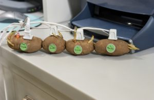 April showers can bring power outages. Fortunately, our studio pioneered the practice of clean potato power. Here, a potato power surge protector keeps our studio computers and printers running.