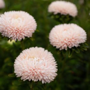 China Aster 'Lady Coral Chamois' with its peachy-blush blooms, is a popular favorite. Each plant produces at least a dozen stems topped with ruffled, delicate flowers. (Photo from Floret)