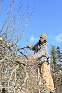 Here's Gavin on another apple tree in this area. Pruning encourages the tree to grow more of these fruiting spurs by eliminating competing suckers and unproductive wood. Some branches that are tougher to cut with regular hand pruners are carefully removed with sharp shears.
