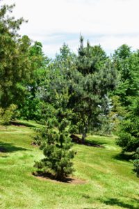 Most of this collection includes pine trees, but I have also included spruces and firs, as well as other evergreens.