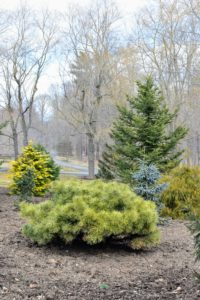 This short shrub is Pinus strobus 'Blue Shag', commonly known as an eastern white pine cultivar. It is a dense, globose form that typically only grows to about four feet tall. Its short, blue-green needles in bundles of five are quite soft to the touch.