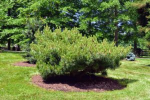 Depending on the size of each planting, its pit can be three to six feet in diameter or even larger for very old, very large trunked specimens - they require a lot of work to keep nicely manicured.