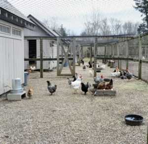 This is where my chickens and geese live - in the large yard next to my vegetable gardens. I keep the entire space completely netted to protect all the birds from predators.