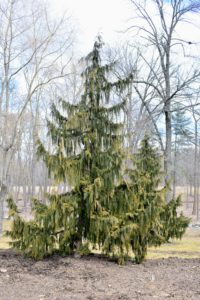 Callitropsis nootkatensis 'Pendula' or weeping Alaskan cedar, is a slender, strongly weeping form that grows to as much as 35-feet tall. It has widely spaced ascending to horizontal branches with flattened sprays of blue-green leaves.