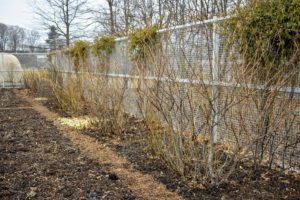 Pruning means to lop or cut off any superfluous branches or shoots for better-shaped or more fruitful growth. These roses have thrived in this location, looking fuller every year – in part because of regular pruning.