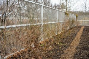 Here is what the rose bushes look like before any of the pruning begins. These roses grow along the fence inside my Flower Cutting Garden. In general, pruning is done before the plant breaks dormancy. This will be early in the year in warm climates, and anytime between January and April in cold climates.
