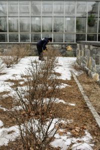 Here's Chhewang tending to the gooseberry bushes, which are also pruned regularly to encourage productivity.
