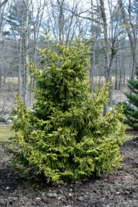 Picea orientalis is a medium to large tree that commonly grows up to 50-feet tall. It has a dense narrowly conical form, and horizontal to upward sweeping branches and drooping lateral branches.