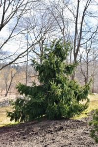 Once trees are mature, they need little maintenance except for regular mulching and removal of dead or diseased branches.