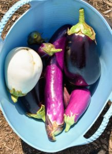 Here are just a few of the glorious eggplants we harvested last summer.