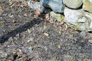 Because spring has arrived and flowers are beginning to sprout everywhere - the areas need to be cleared so the light can reach these plants. I can't wait to see everything in bloom! Do you see signs of spring emergence around your home?