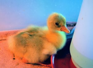 It has bright, clean eyes - a sign of good health in a bird. This gosling is also very energetic and already walking around very steadily.
