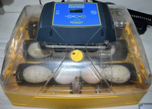 The gosling hatched in this incubator. Several more goose eggs are waiting. The actual period of incubation varies - some eggs from the lighter breeds may start pipping after 28-days, while eggs from the larger breeds may take 35-days, and it may take up to three-days for hatching to be completed.