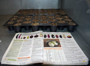 Because I share a lot of eggplants with my family, we plant several trays and several varieties. When starting from seed, it is best to use a pre-made seed starting mix that contains the proper amounts of vermiculite, perlite and peat moss, available at garden supply stores.