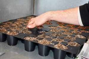 Next, Ryan creates a quarter-inch deep furrow in the middle of each compartment by pressing a finger gently into each cell. This can be done pretty quickly, even with multiple trays.