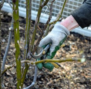 "When pruning roses, my gardeners assess each bush from the bottom and start cutting out any of the ""three Ds"" – dead, damaged or diseased branches."