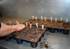 Once all the seeds are planted, Ryan covers the trays with a top layer of soil mix and pats it down gently to ensure good contact.