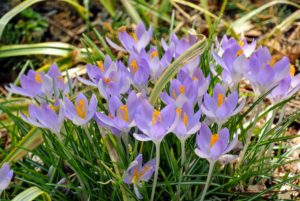Many are cultivated for their flowers appearing in autumn, winter, or spring. The spice saffron is obtained from the stigmas of Crocus sativus, an autumn-blooming species.