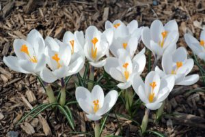 More white crocuses can be seen opening throughout the farm - splashes of white, and shades of purple.