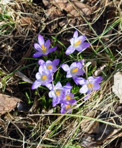 Here are some light purple or lilac colored croci. Crocus is a genus of flowering plants in the iris family made up of about 90-species of perennial plants.
