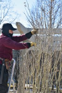 The Rose of Sharon shrubs also needed some attention. Rose of Sharon flowers on growth from the current year, so pruning may be done in late fall, in winter, or now - early spring - before any buds form. Chhewang carefully selects his cuts, making sure to cut branches where they appear overcrowded.