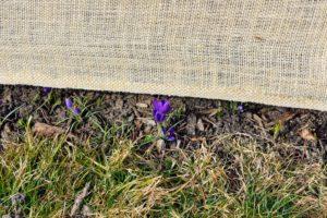 Along the border of my clematis pergola - darker purple crocus.
