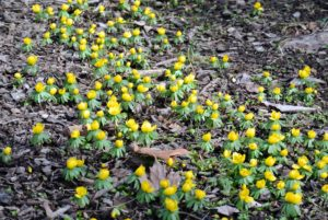 Eranthis, or winter aconite, is a genus of eight species of flowering plants in the family Ranunculaceae – the Buttercup family.